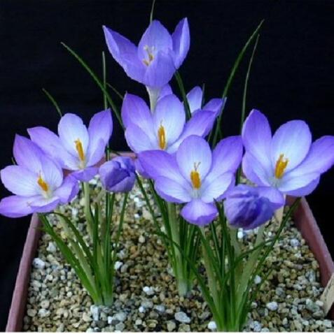 ดอก Crocus sativus (Mixed colors)คละสี / 20 เมล็ด
