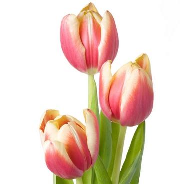 กลิ่นดอกทิวลิป