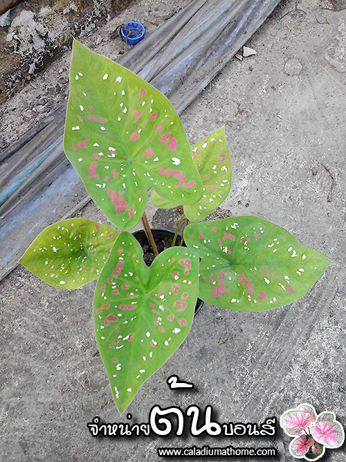 ต้นบอนสี สาวน้อยปะแป้ง ขนาดกระถาง6นิ้ว