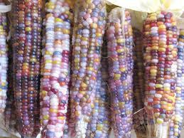 ข้าวโพดอินเดียนเรนโบว์ (indian rainbow corn) 5เมล็ด/ซอง